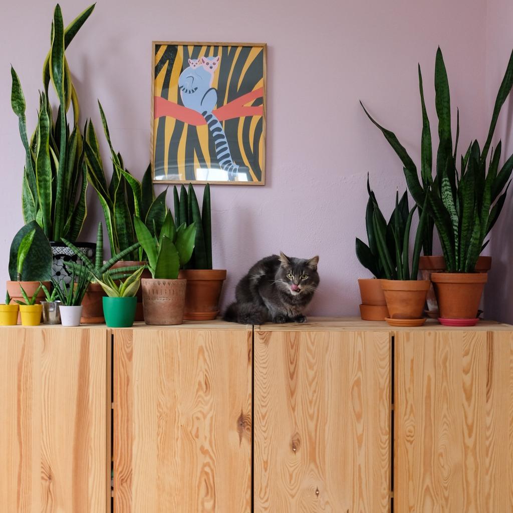 Heel veel Sansevieria en een wilde kat ;)
